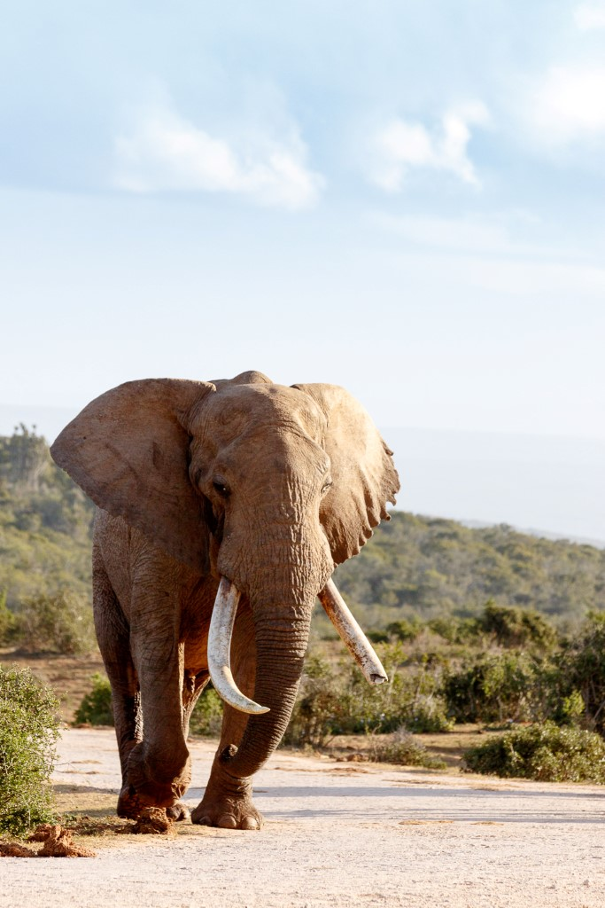 Elephant walking on the dirt road
